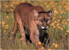 cougar_m.jpg